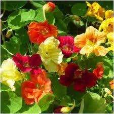 nasturtium flower package of 110 seeds mix nasturtium