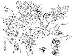 Non Invasive Climbing Plants - plant line drawings u2013 uf ifas center for aquatic and invasive plants