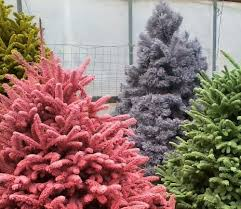 freshly cut freshly flocked christmas trees are colorfully