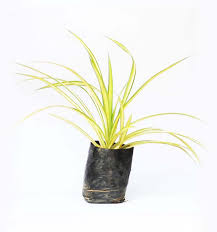 spider plant croton