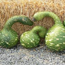 goose gourds salt lake pumpkin patch cross e ranch