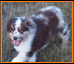 mini australian shepherd 8 weeks mini aussie pup for sale 2014 litter 5 callie pup 5 red merle