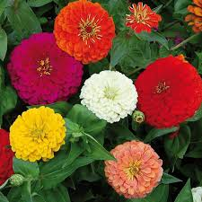 flower pic benary s giant zinnia flower seed savers exchange