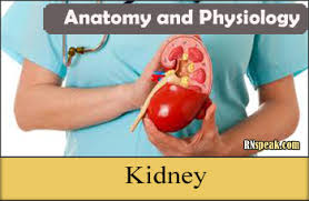 Kidney Anatomy And Physiology Video Anatomy And Physiology Archives Nursing Journal