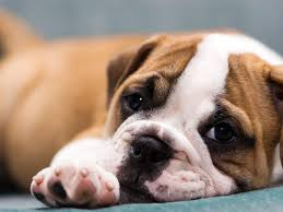 bulldog puppy wallpapers bulldog puppy backgrounds for windows