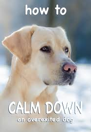 dog calming how to calm down a dog and make your lab less excited