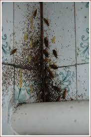 cafard cuisine désinfection philippe wegnez cafards et autres insectes à herve