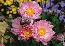 anemone flowers what to pair with your container anemone flowers rozanne and