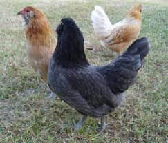 breeds for climates my pet chicken blog