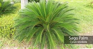 How To Grow A Bulb In A Vase Sago Palm Care How To Grow And Care For Cycas Revoluta