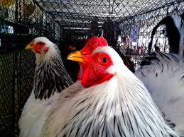 free picture white rooster chicken