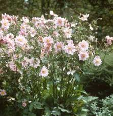 anemone plant how to grow japanese anemones gardening