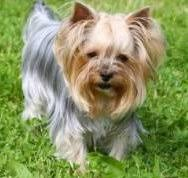 haircuts for yorkies with thin hair different yorkie haircut styles yorkshire terrier information