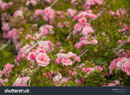 lovely pink climbing roses ornamental stock photo 397436491