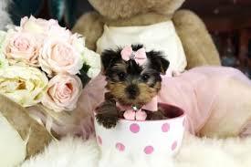 australian shepherd yorkie puppies teacup yorkies for sale teacup yorkie dogs florida