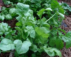growing arugula bonnie plants