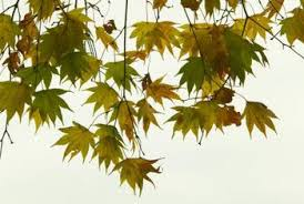 how to care for a japanese maple tree home guides sf gate