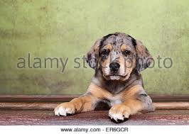 australian shepherd dachshund 2 australian shepherd labrador mongrel puppies stock photo