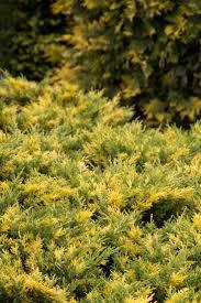 Best Plants For Rock Gardens by 25 Best Narzisi Garden Images On Pinterest Garden Ideas Shrubs