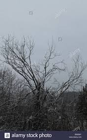 lonely tree without leaves covering white fluffy snow