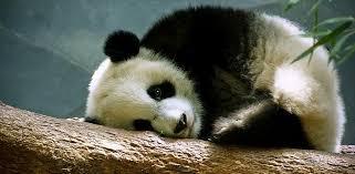 Sad Panda Meme - sad panda images the best panda of 2018