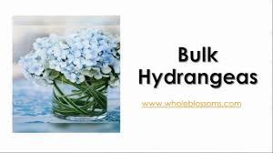 bulk hydrangeas bulk hydrangeas www wholeblossoms