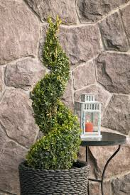 Real Topiary Trees For Sale - green tower boxwood monrovia green tower boxwood