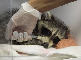 man charged after baby raccoon rescued from near drowning in water