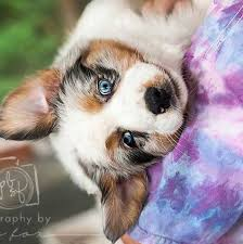 australian shepherd dog puppies australian shepherd breeders washington