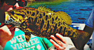 Chautauqua Lake Cottage Rentals by Smallmouth Bass Fishing Chautauqua Lake Dock Talk Go Fishing Now