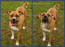 boxer dog las vegas best 25 pitbull mixed with boxer ideas only on pinterest boxer