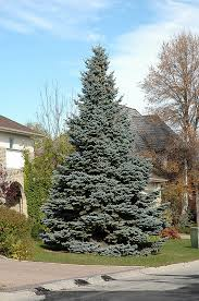 blue spruce baby blue blue spruce picea pungens baby blue in st