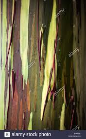 rainbow eucalyptus eucalyptus deglupta tree bark hawaii usa