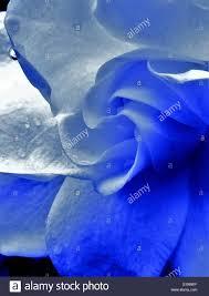 blue gardenia stock photos u0026 blue gardenia stock images alamy