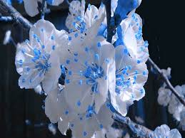 blooms awesome flowers blue white blooming flower desktop