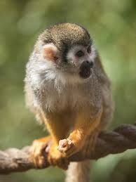 squirrel monkey to be the used and zoos