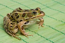 frogs eat with their eyes u2014literally mental floss