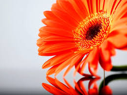bold color gerber daisy wallpaper beautiful by free download best