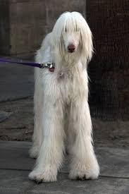 afghan hound hairstyles an alley dog afghan perfect cute pinterest black afghan