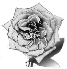 37 best rose images on pinterest rose drawings drawings and