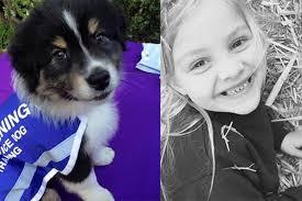 australian shepherd puppies queensland australian shepherd puppy esso is being trained as an autism