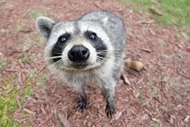 help there u0027s a raccoon in my yard