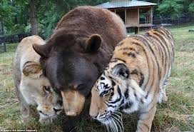 noah feel better noah s ark animal shelter s lion tiger and brothers are