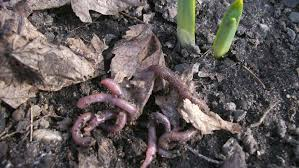 earthworms are a part of rich organic soils jamestown sun