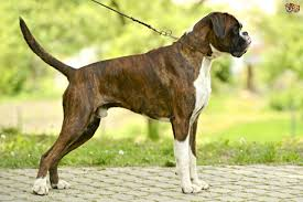 boxer dog jaw boxer dog breed information buying advice photos and facts