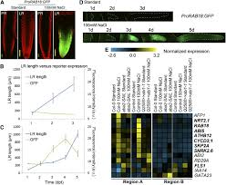 endodermal aba signaling promotes lateral root quiescence during