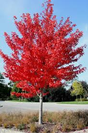 fastest growing ornamental trees