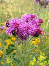 missouri native plant nursery vernonia missurica missouri ironweed prairie moon nursery