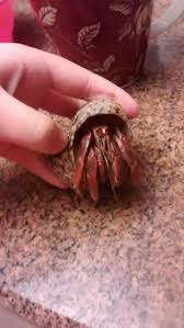 how to care for land hermit crabs 10 steps with pictures