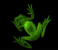 meet the fluorescent tree frogs of south america